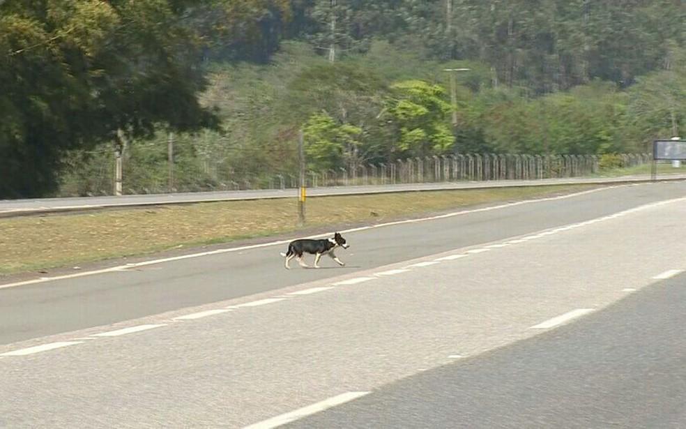 Um dos objetivos da ação é diminuir o número de animais soltos ou perdidos nas rodovias: risco de atropelamento e de acidentes — Foto: Cláudio Nascimento/ TV TEM