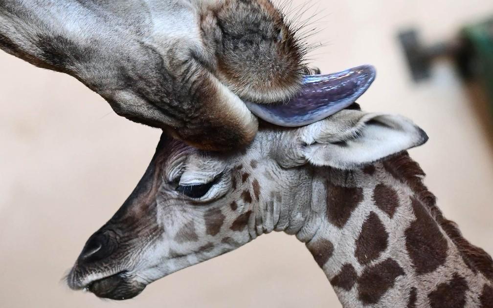 Filhote de girafa recebe uma lambida de sua mãe no Zoológico e Jardim Botânico de Budapeste, na Hungria (Foto: Attila Kisbenedek/AFP)