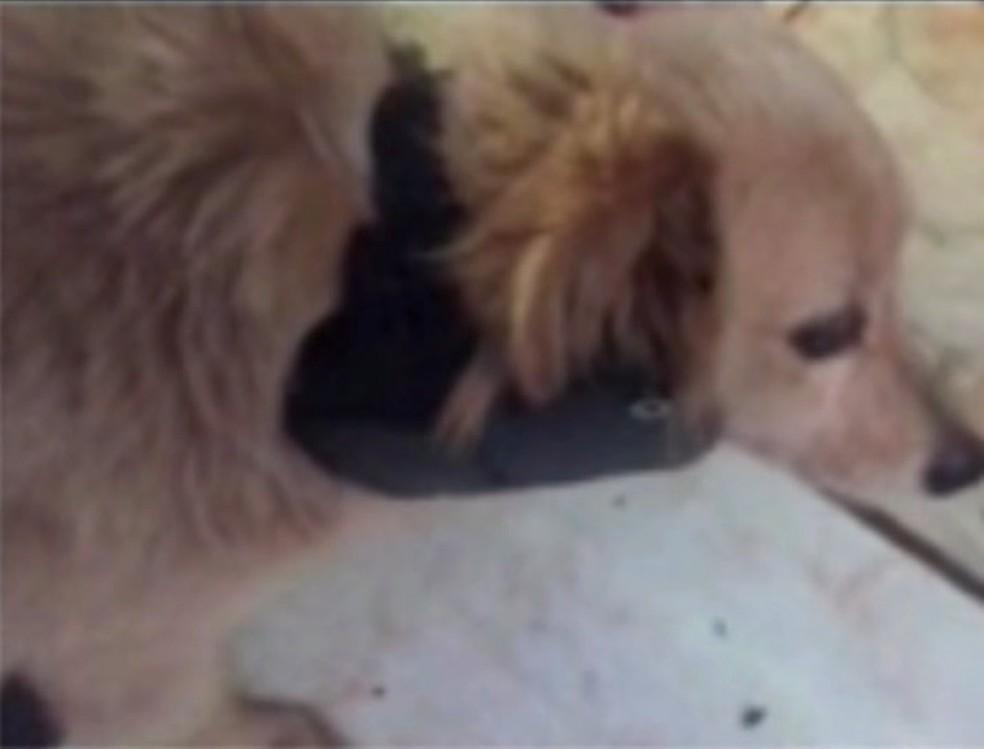 Cachorro foi encontrado na casa do preso, com tornozeleira eletrônica no pescoço, em Palotina (Foto: Divulgação)