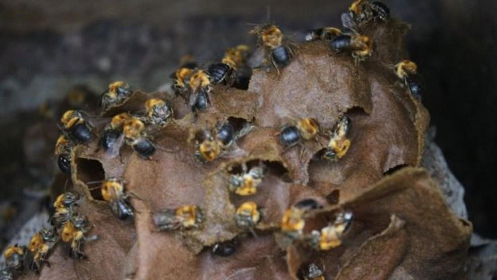 Colmeia de abelha nativa sem ferrão na Chácara João do Mel, em Belterra — Foto: Gabriel Siqueira/BBC