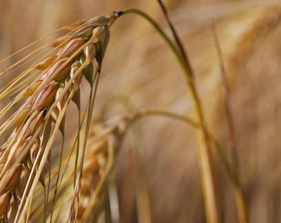 Ministério da Agricultura publica Zoneamento Agrícola de Risco Climático da cevada