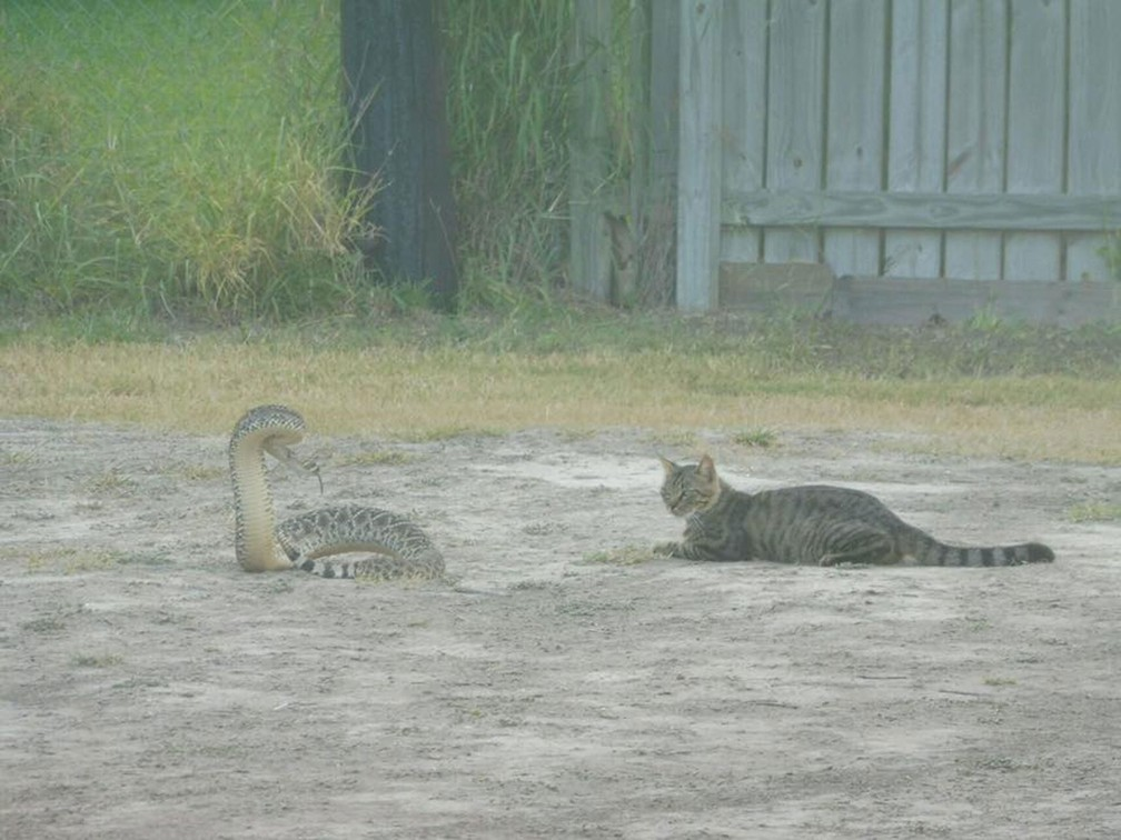 Polícia captura cobra que estava ao lado de 'gato destemido' no Texas (Foto: Laguna Vista Police Department/Facebook)
