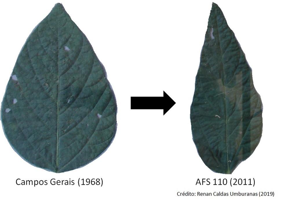 Comparação de folhas da soja de 1968 e atual — Foto: Reprodução/Pesquisa da USP