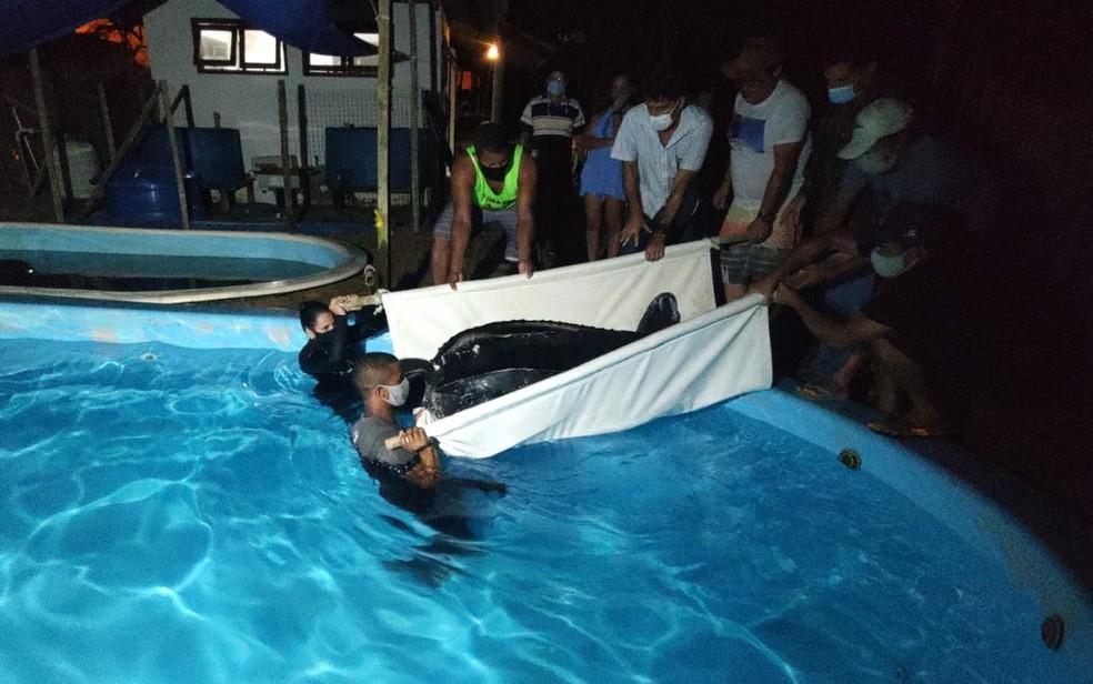 Tartaruga gigante ameaçada de extinção que encalhou em praias da Bahia é levada para projeto Tamar — Foto: Inema / Divulgação