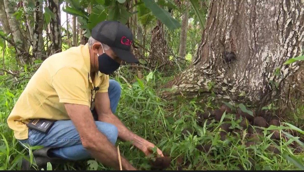 José Francisco já colhe dos frutos das árvores que plantou há 15 anos — Foto: Reprodução/Rede Amazônia Acre