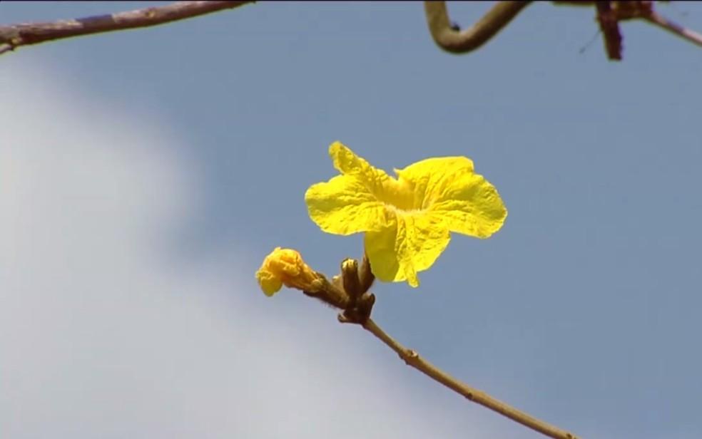 Ipês florescem em Goiás (Foto: Reprodução/TV Globo)