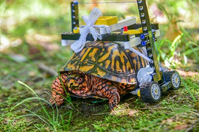 Tartaruga-de-caixa-oriental ganhou cadeira de rodas de LEGO. (Foto: Divulgação)