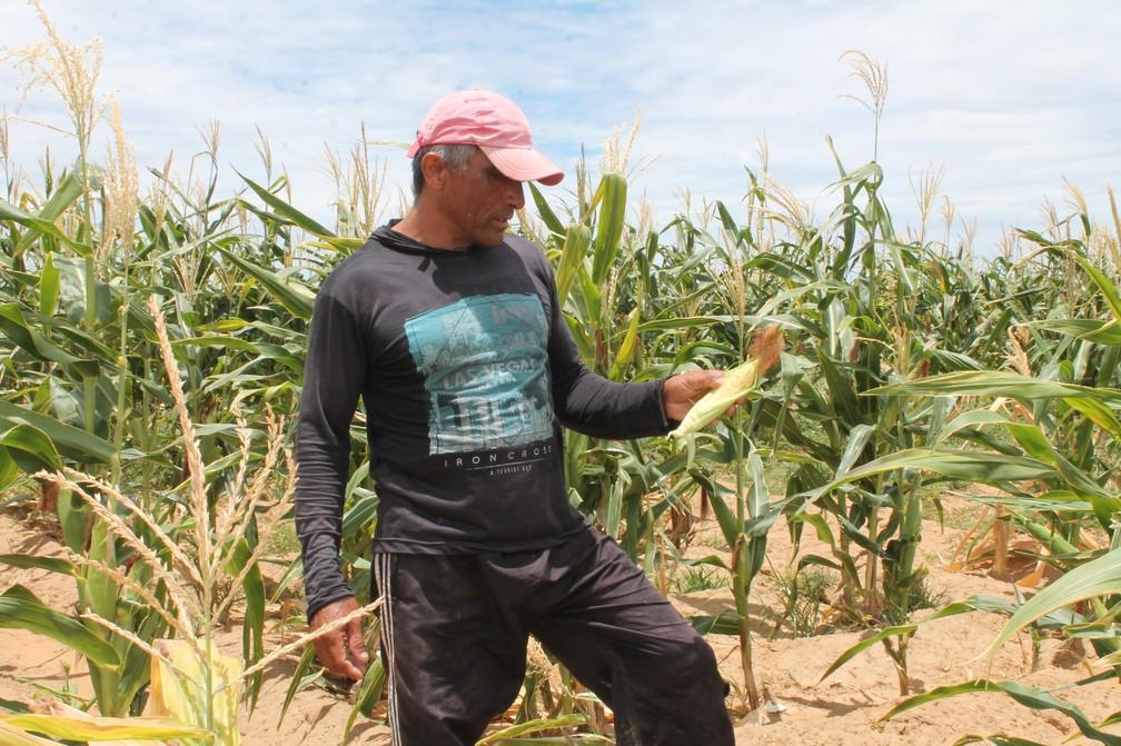 Arthur Gomes estima perder mais da metade da sua produção de milho.  — Foto: Amanda Lima / G1