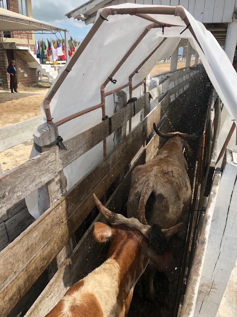 Gotejamento refresca animais durante as provas — Foto: Giovani Grizotti