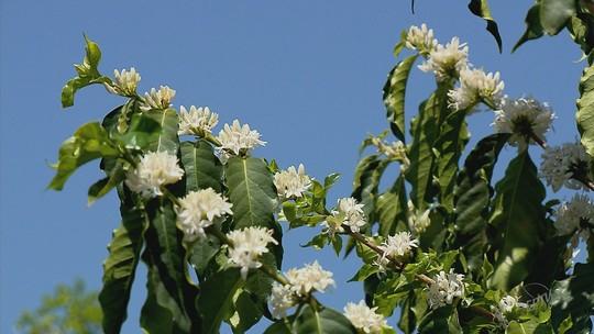 Apicultores aproveitam período de florada nos cafezais para produção de mel