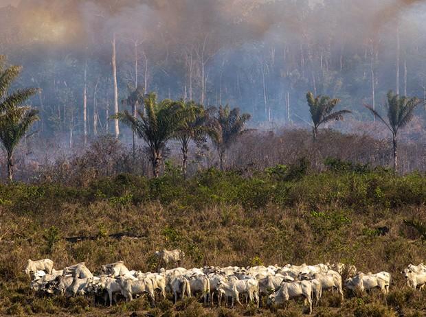 Queimada na floresta e gado pastando na Amazônia (Foto: © AFP e Pablo Valadares/Câmara dos Deputados)