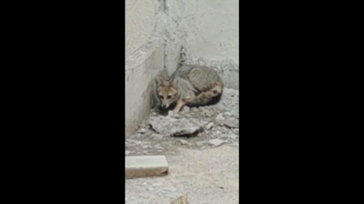VÍDEO: raposa é encontrada em obra de hospital, escapa de PMs, mas é resgatada no DF