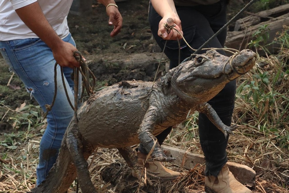 Há mais de duas semanas voluntários se dedicam em resgatar animais no Pantanal — Foto: Natália Smiotto