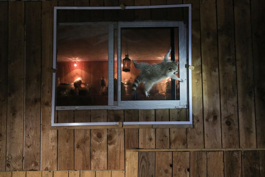 'Como é que abre essa janela?': a foto mostra um guaxinim tentando entrar em uma casa na França pela janela (que está fechada). — Foto: © Nicolas de Vaulx  /Comedywildlifephoto.com