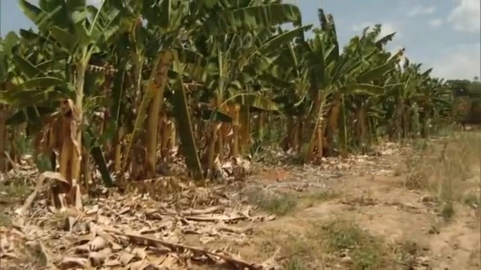 ... Bananiculturas começaram a ser abandonadas por produtores do Norte de  MG — Foto  Reprodução  4abc377713b
