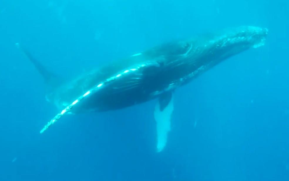 A proibição da caça comercial de baleias foi estabelecida em 1986, para possibilitar que os estoques desses animais se recuperassem (Foto: Reprodução / TV Bahia)