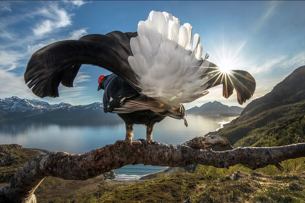 Galo silvestre na Noruega: foto foi a vencedora do prêmio Big Picture — Foto: Audun Rikardsen