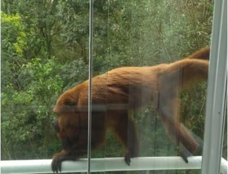 Macaco bugio que circula em condomínio no Paraná (Foto: Divulgação)