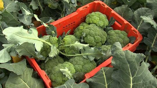 Itupeva possui a maior fazenda produtora de brócolis do Brasil