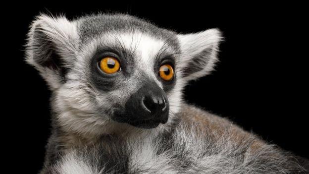O lêmure-de-cauda-anelada é uma das espécies mais ameaçadas em Madagascar (Foto: GETTY IMAGES/via BBC News Brasil)