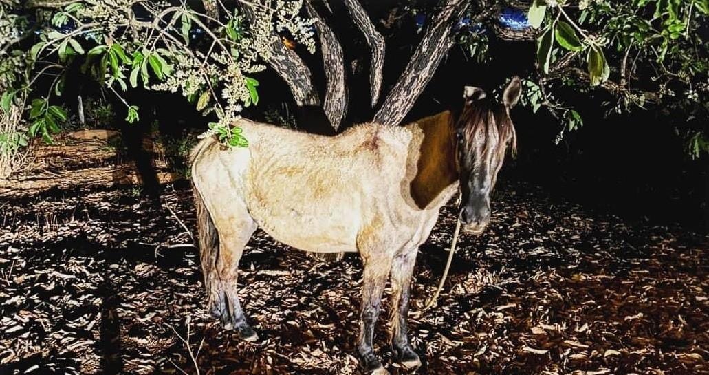 Dono de cavalo é detido após deixar animal amarrado, sem água e sem comida em Dores do Indaiá