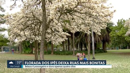 Florada dos ipês embeleza ruas de São Paulo
