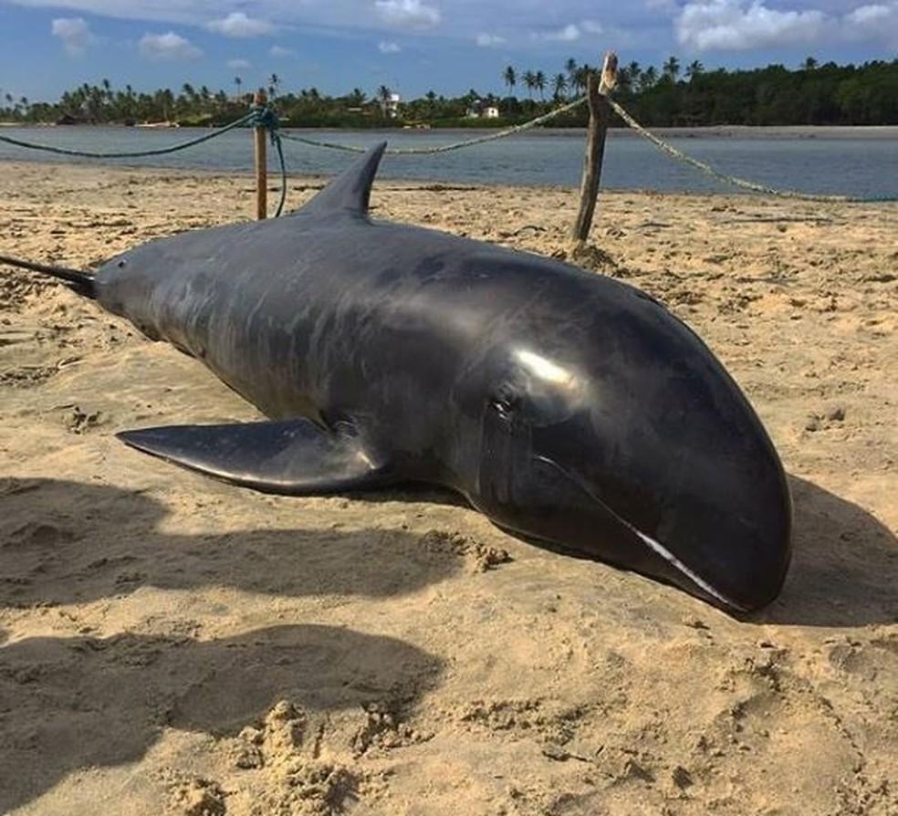Golfinho da espécie cabeça-de-melão é incomum no litoral cearense (Foto: Allef Pinto/Arquivo pessoal)