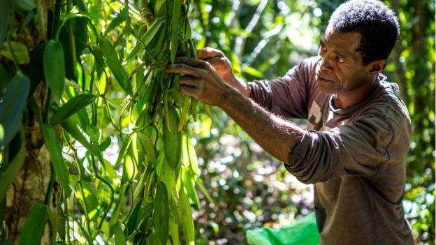 A baunilha extraída das vagens tem sabor e intensidade únicos, característicos da área onde é cultivada (Foto: Fellipe Abreu)