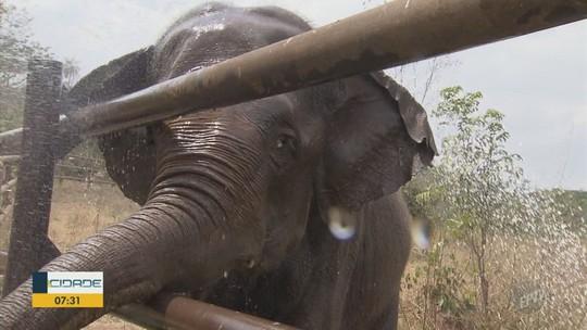 Elefanta Ramba resgatada após maus-tratos no Chile chega ao Brasil com megaoperação em Viracopos
