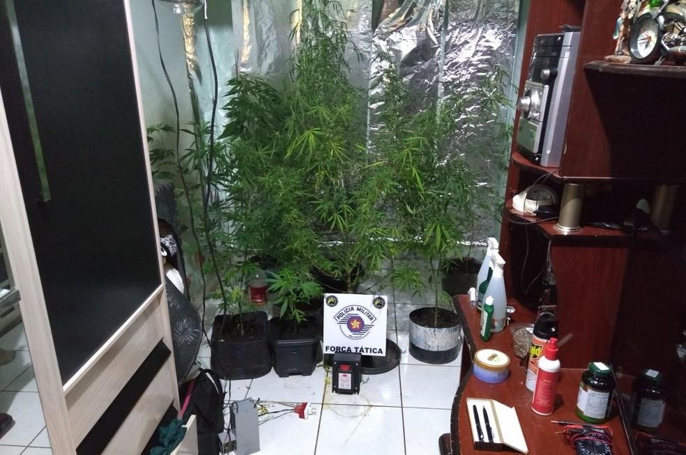 Estufa com pés de maconha foi localizada em uma residência, em Presidente Prudente (Foto: Polícia Militar/Cedida)