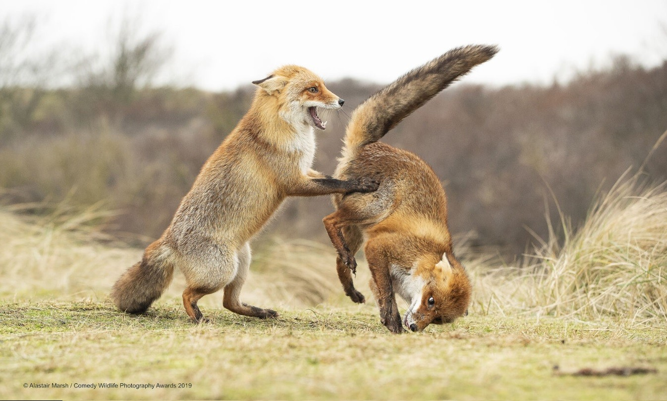 Waltz that went wrong (Photo: Reproduction Comedy Wildlife Photography Awards 2019)