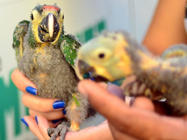Filhotes de pássaros silvestres da família Psittacidae são apreendidos em Barra Mansa, RJ (Fot Gabriel Borges/Prefeitura Barra Mansa)