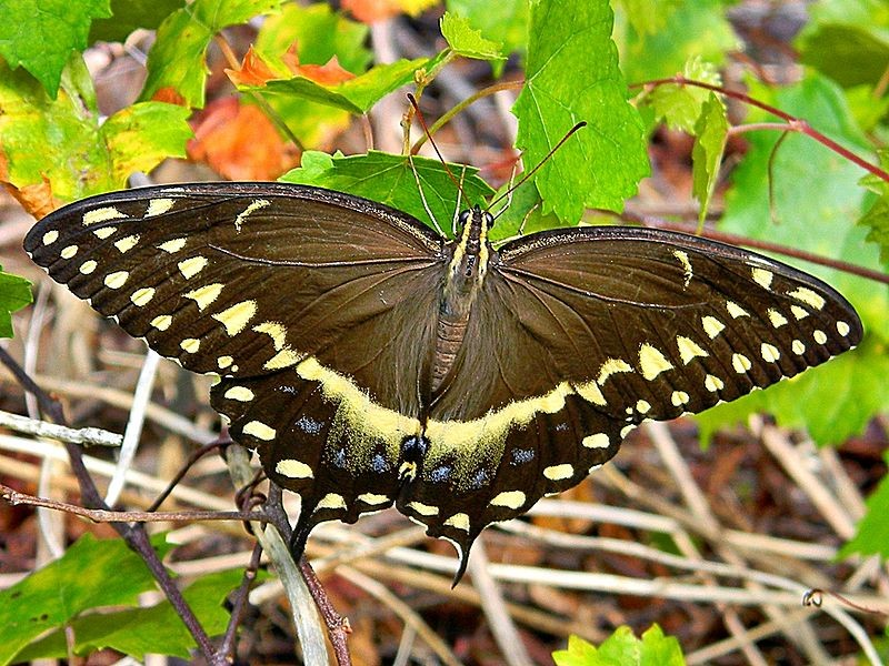 Rabo de andorinha, borboleta da espécie Palamedes Swallowtail (Foto: Bob Peterson/North Palm Beach, Florida, Planet Earth/Wikimedia Commons)