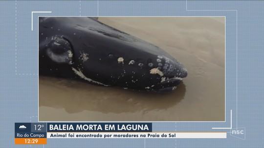 Filhote de baleia é encontrado morto em praia de Laguna, em SC