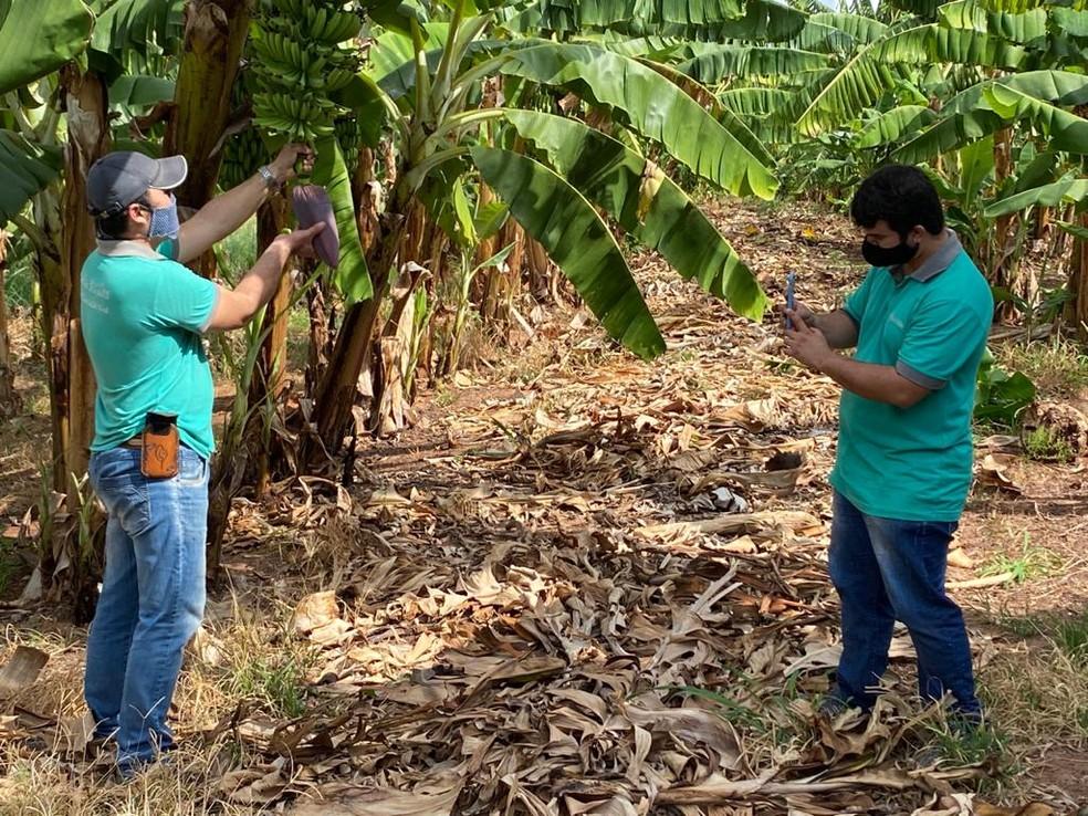 Rotina na produção da banana é divulgada nas redes sociais — Foto: Bill Paschoalotto/TV Fronteira