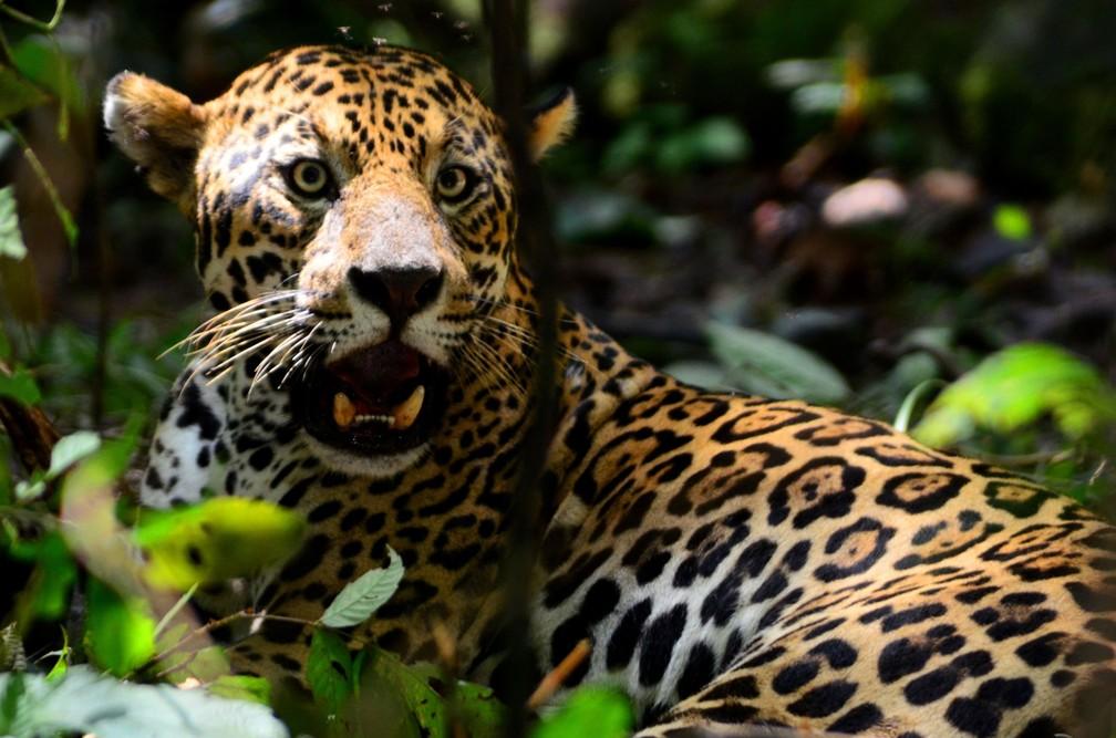 A onça é um animal típico do continente americano — Foto: Brandi Jô Petrônio