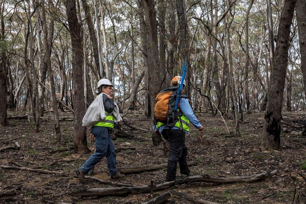Tratadores procuram um local adequado para libertar coala resgatado de incêndio no Parque Nacional Kanangra-Boyd, em Nova Gales do Sul, na Austrália — Foto: Science for Wildlife via Reuters