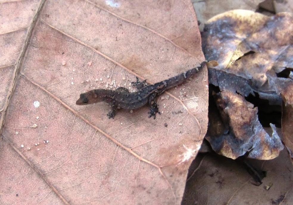 lagarto-de-folhiço, o menor das Américas, é encontrado no Cajueiro de Pirangi — Foto: Mica Carbone