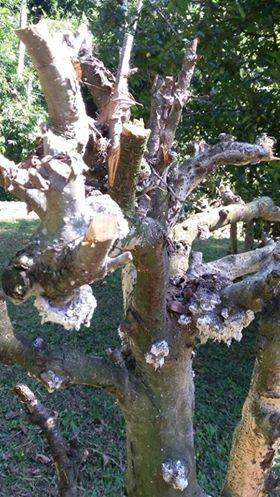 gr-responde-maçã-macieira-maca-praga-pulgao (Foto: Cecília Caspary/Arquivo Pessoal)