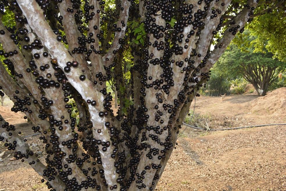 Os pés de jabuticaba ficam carregados e o dono diz que a seca, ao contrário de outras plantações, favorece a jabuticaba (Foto: Jeferson Carlos/G1)