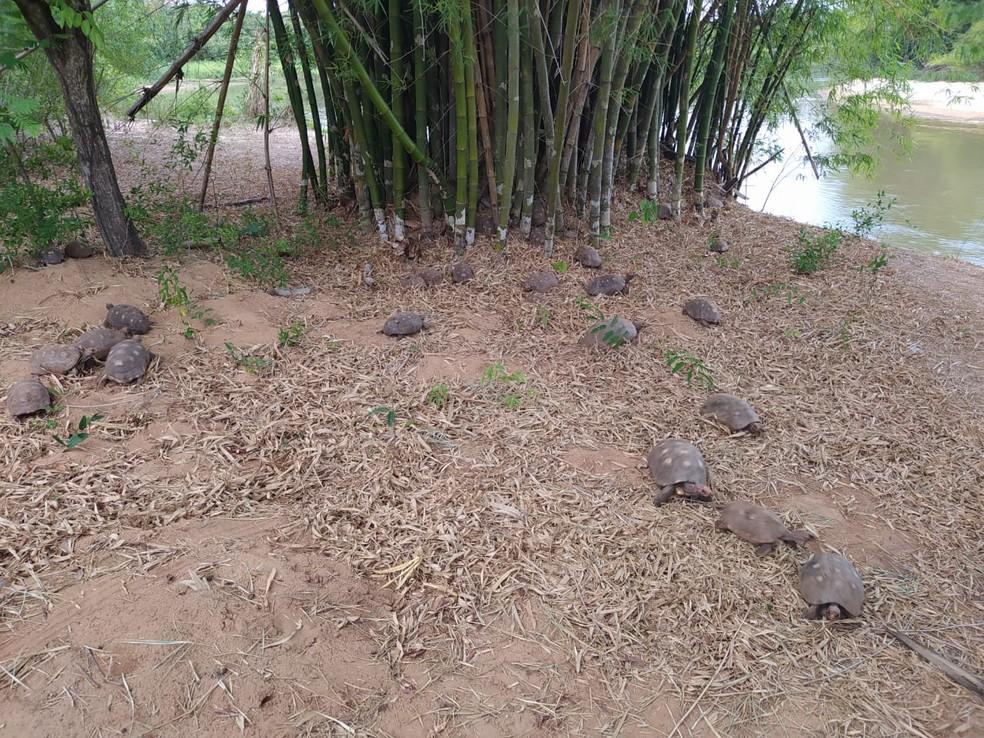 Mais de 150 jabutis foram recolhidos do cativeiro e devolvidos à natureza — Foto: Polícia Militar Ambiental