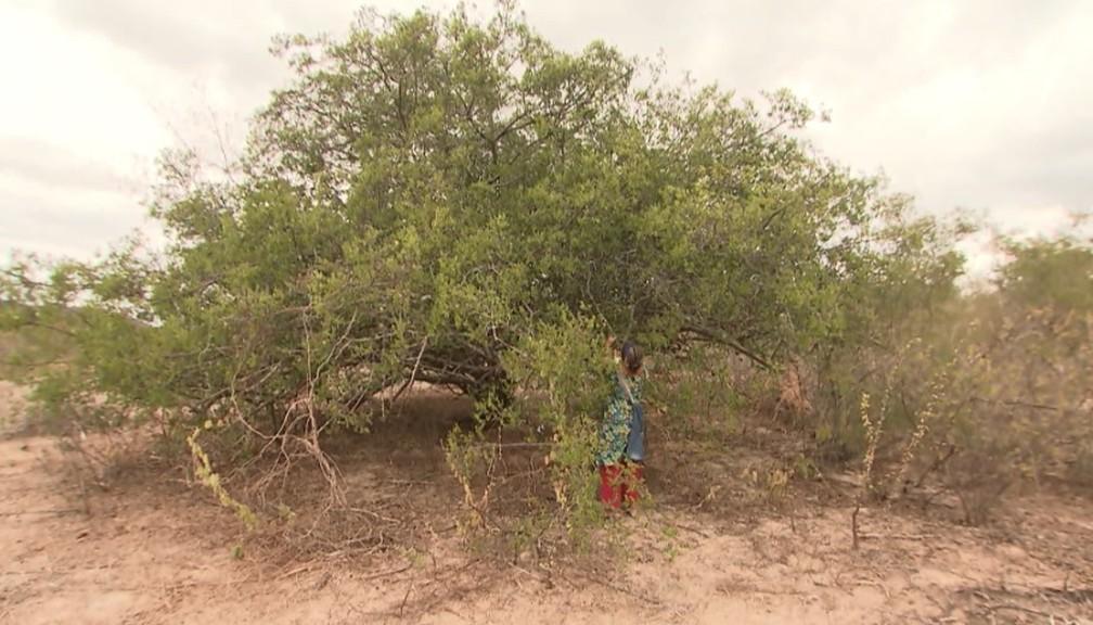 Umbuzeiro é considerada 'batata da salvação' por quem vive em regiões atingidas pela seca — Foto: Reprodução/ TV Bahia