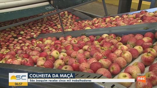 São Joaquim recebe cerca de 5 mil trabalhadores para a colheita da maçã, segundo associação