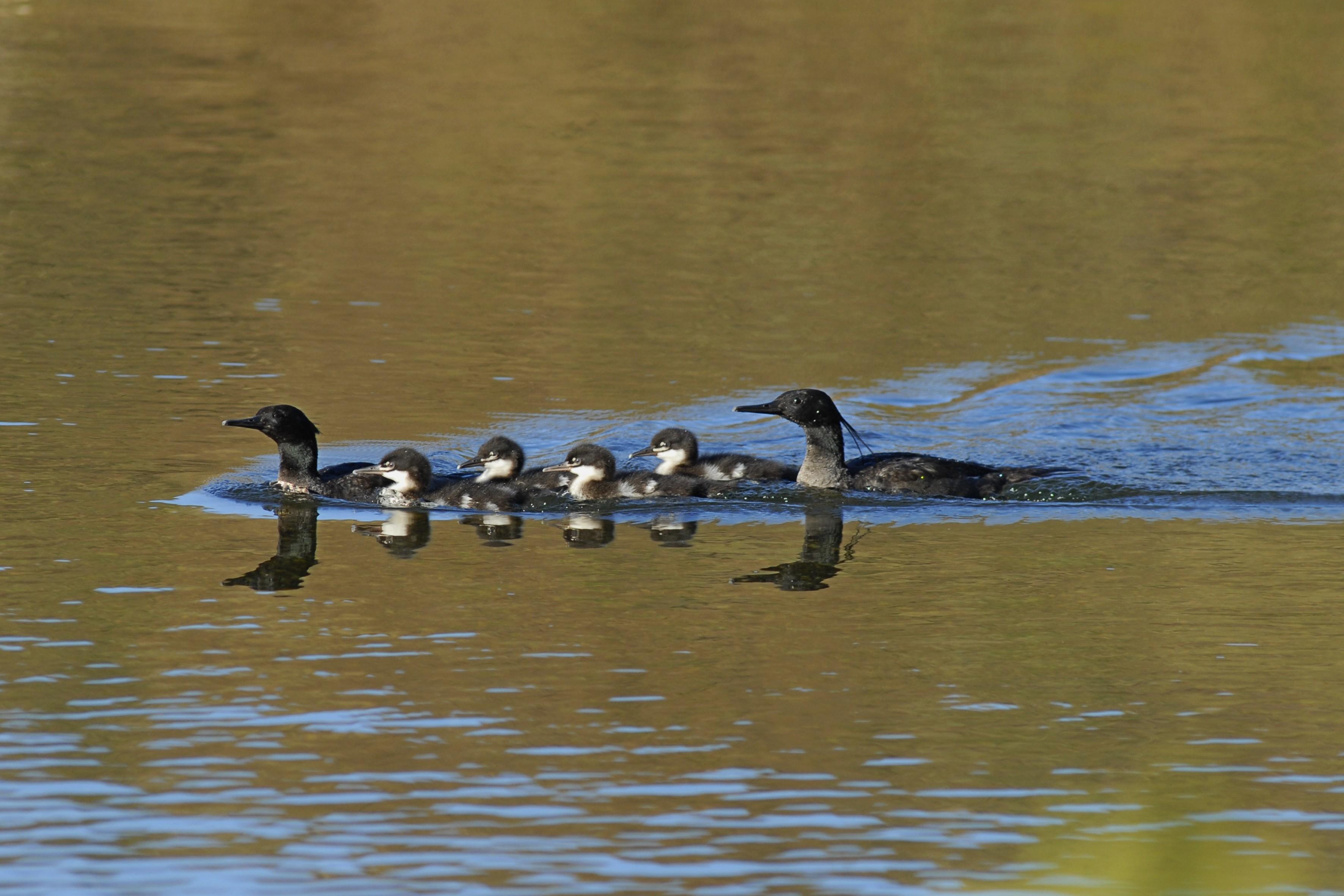 Biólogos de MG comemoram título de embaixador das águas de pato-mergulhão