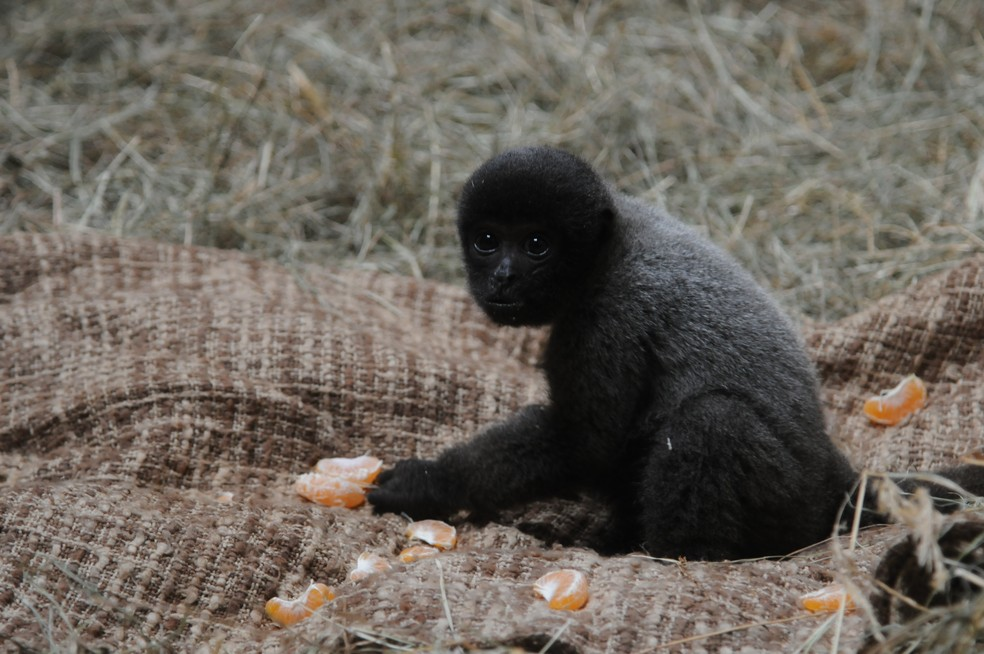 Além dos cuidados com a temperatura, macacos ganham alimentação especial  — Foto: Halder Ramos/Gramadozoo