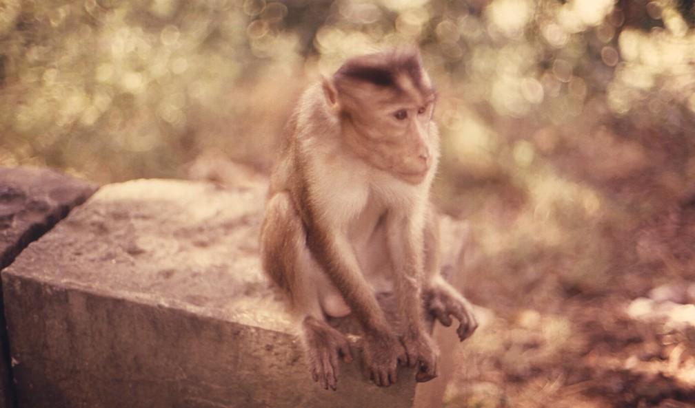 Macaco rhesus, usado em testes contra o zika (Foto: CDC/ Dr. Roger Broderson)