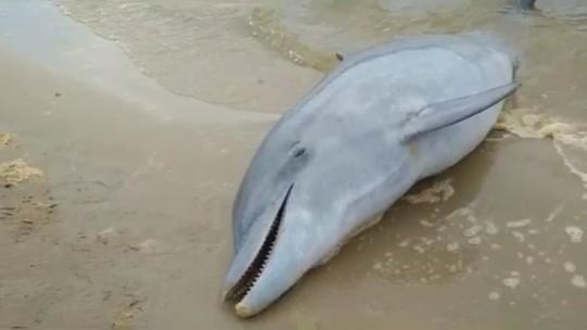 Boto é encontrado morto em Laguna, no Sul de SC; FOTOS