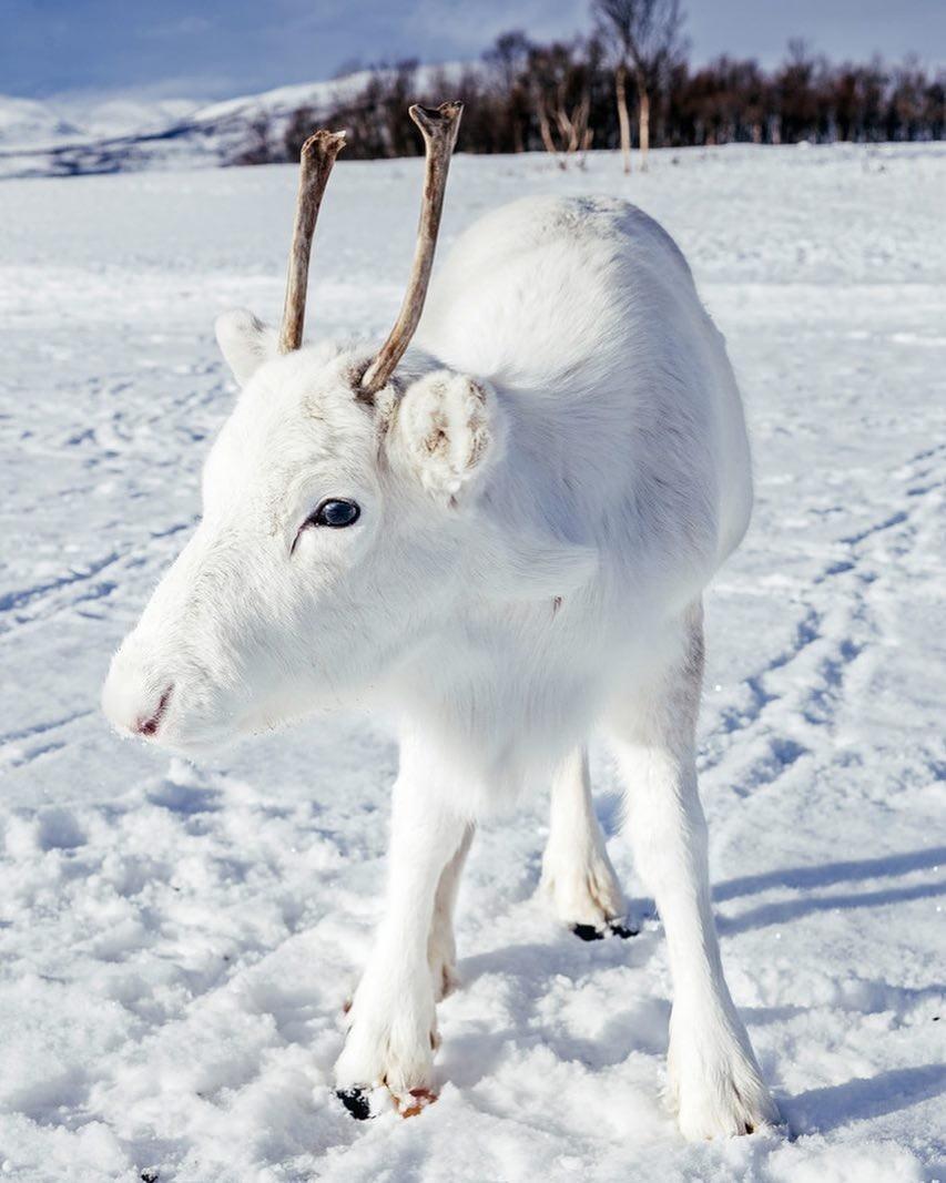 Rena branca, rara, clicada na Noruega (Foto: Reprodução / Instagram / Mads Nordsveen)