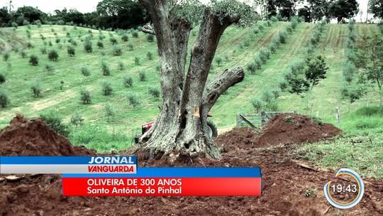 Oliveira de 300 anos plantada no Uruguai é transportada para fazenda em Sto. Antônio do Pinhal