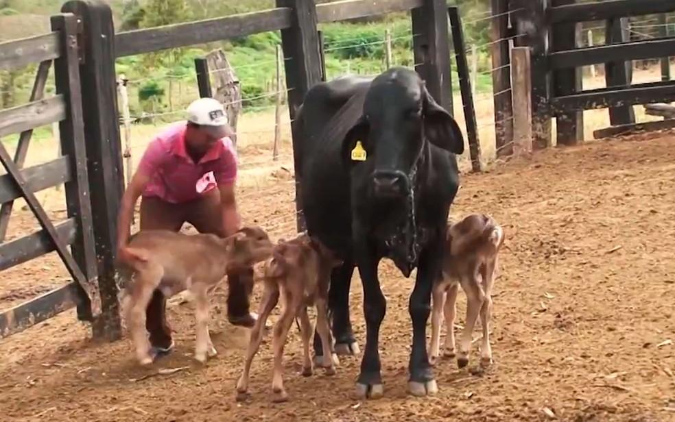 Vaca deu à luz três bezerros na Bahia (Foto: Reprodução / TV Bahia)